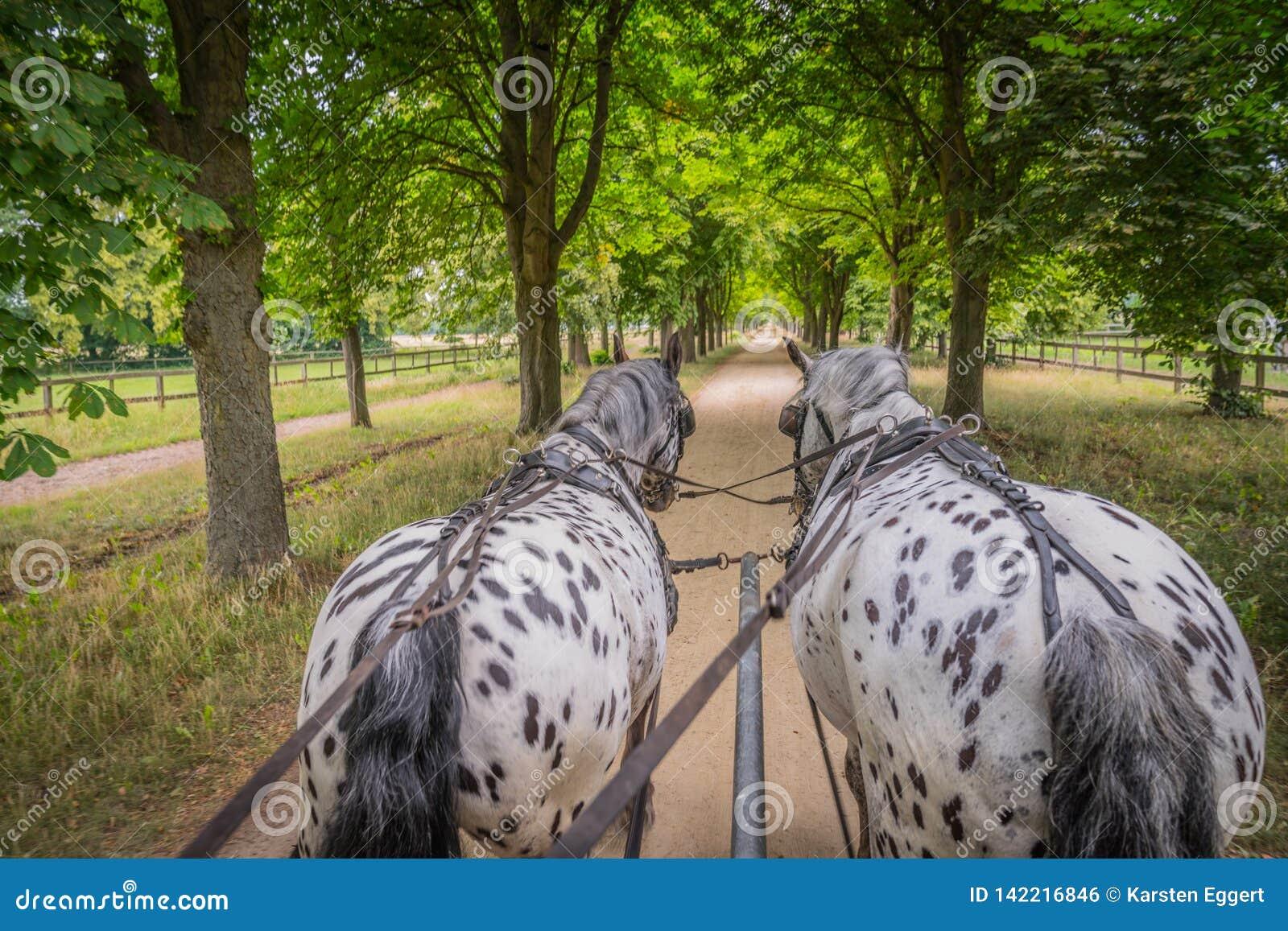 Τα άλογα Apaloosa τραβούν μια μεταφορά