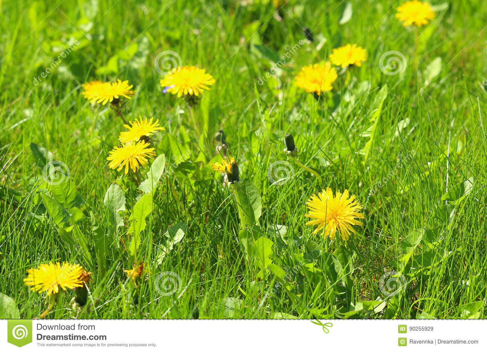Τα άνθη Dandellion με ελαφρώς το υπόβαθρο με τα gras