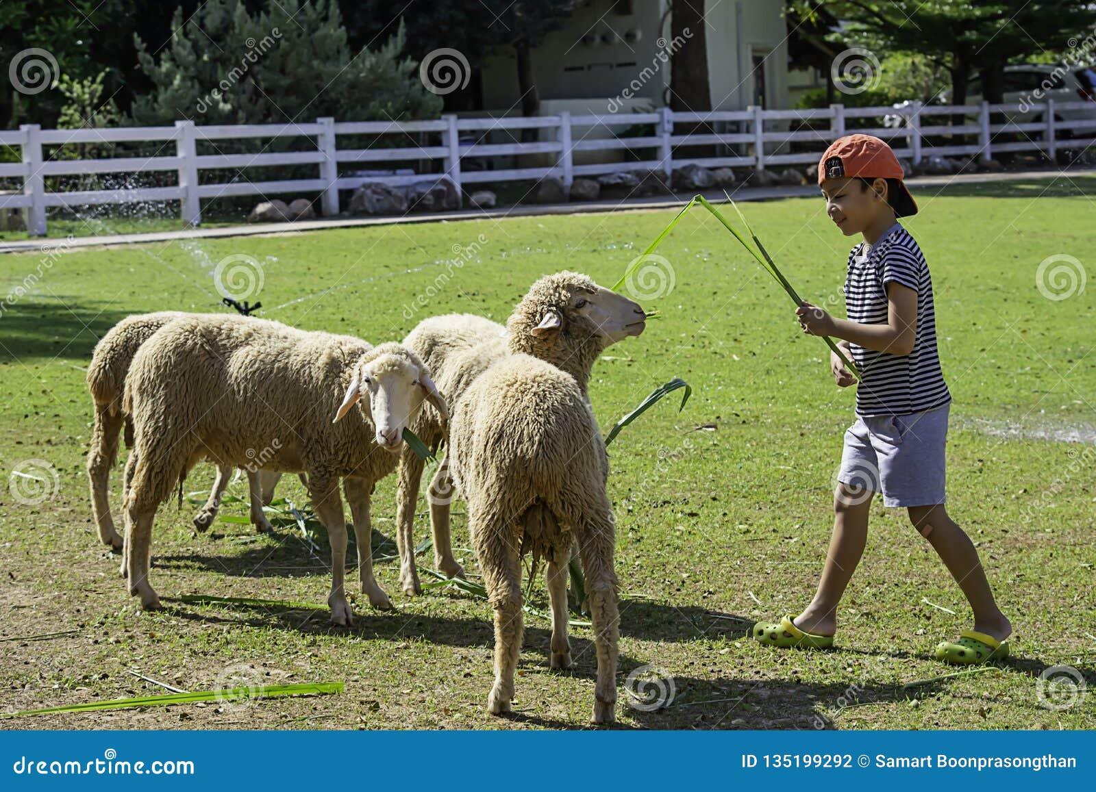 Τα άσπρα πρόβατα τρώνε τη χλόη στα χέρια των ασιατικών αγοριών