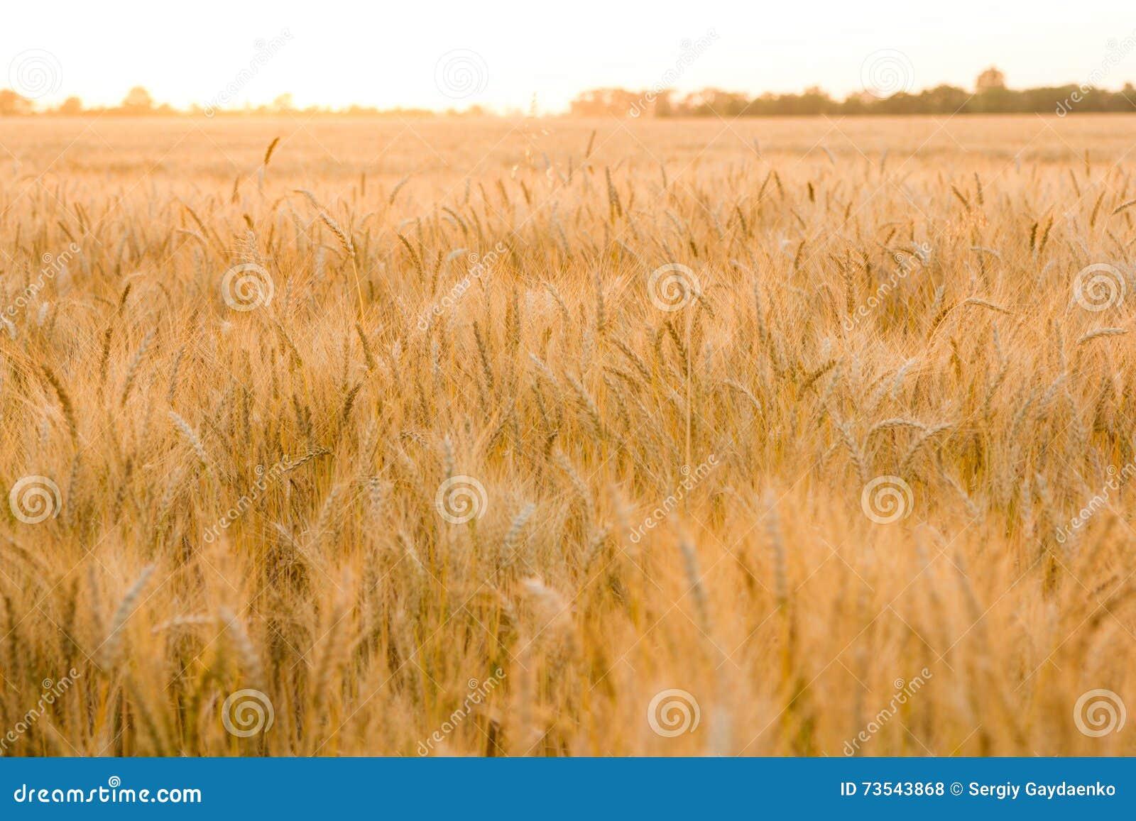 Τα αυτιά του χρυσού σίτου στον τομέα κλείνουν επάνω Όμορφο τοπίο ηλιοβασιλέματος φύσης Αγροτικό τοπίο κάτω από να λάμψει το φως τ