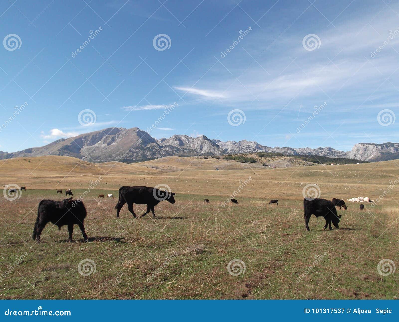 Τα βοοειδή του Angus