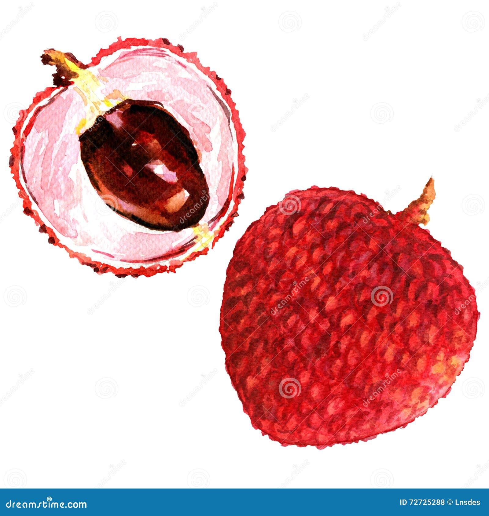 Τα γλυκά φρέσκα lychees φρούτα κλείνουν επάνω απομονωμένος, απεικόνιση watercolor