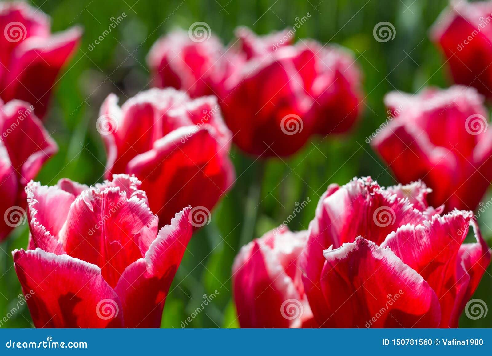 Τα ζωηρόχρωμα λουλούδια τουλιπών στο α στο πάρκο πόλεων
