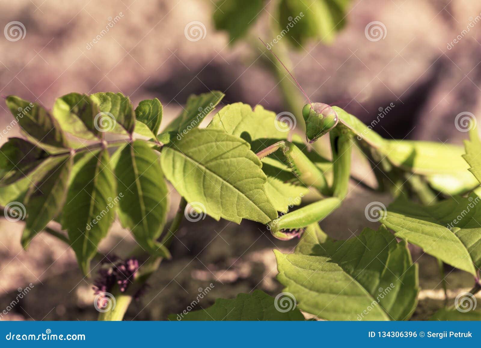 Τα θηλυκά mantis κλείνουν επάνω σε ένα υπόβαθρο των πράσινων φύλλων του θάμνου