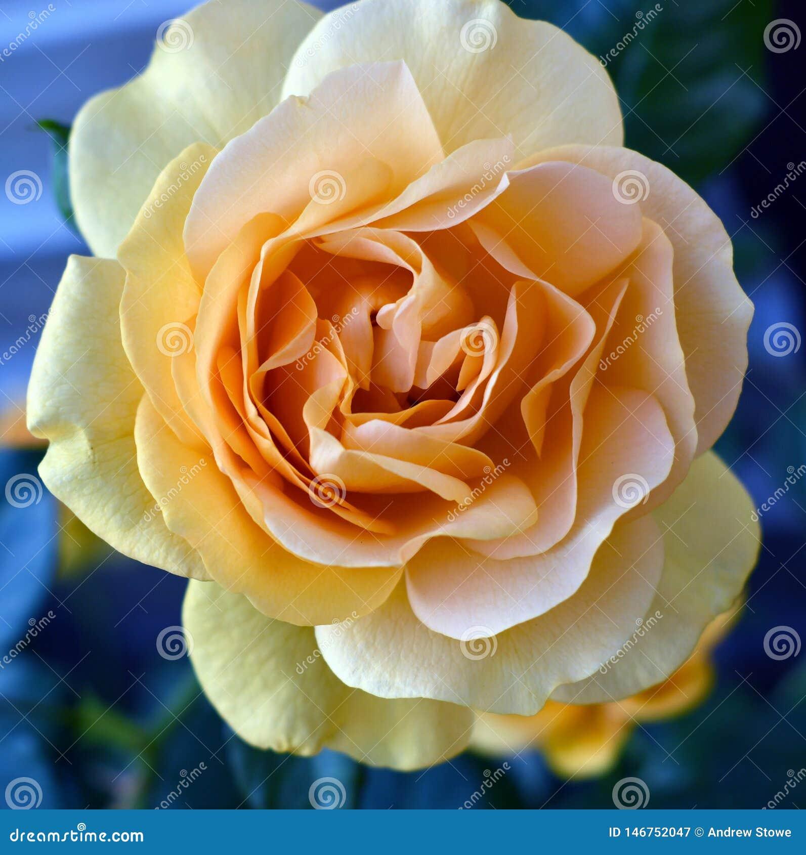 Τα κίτρινα τριαντάφυλλα Yellow Rose συμβολίζουν