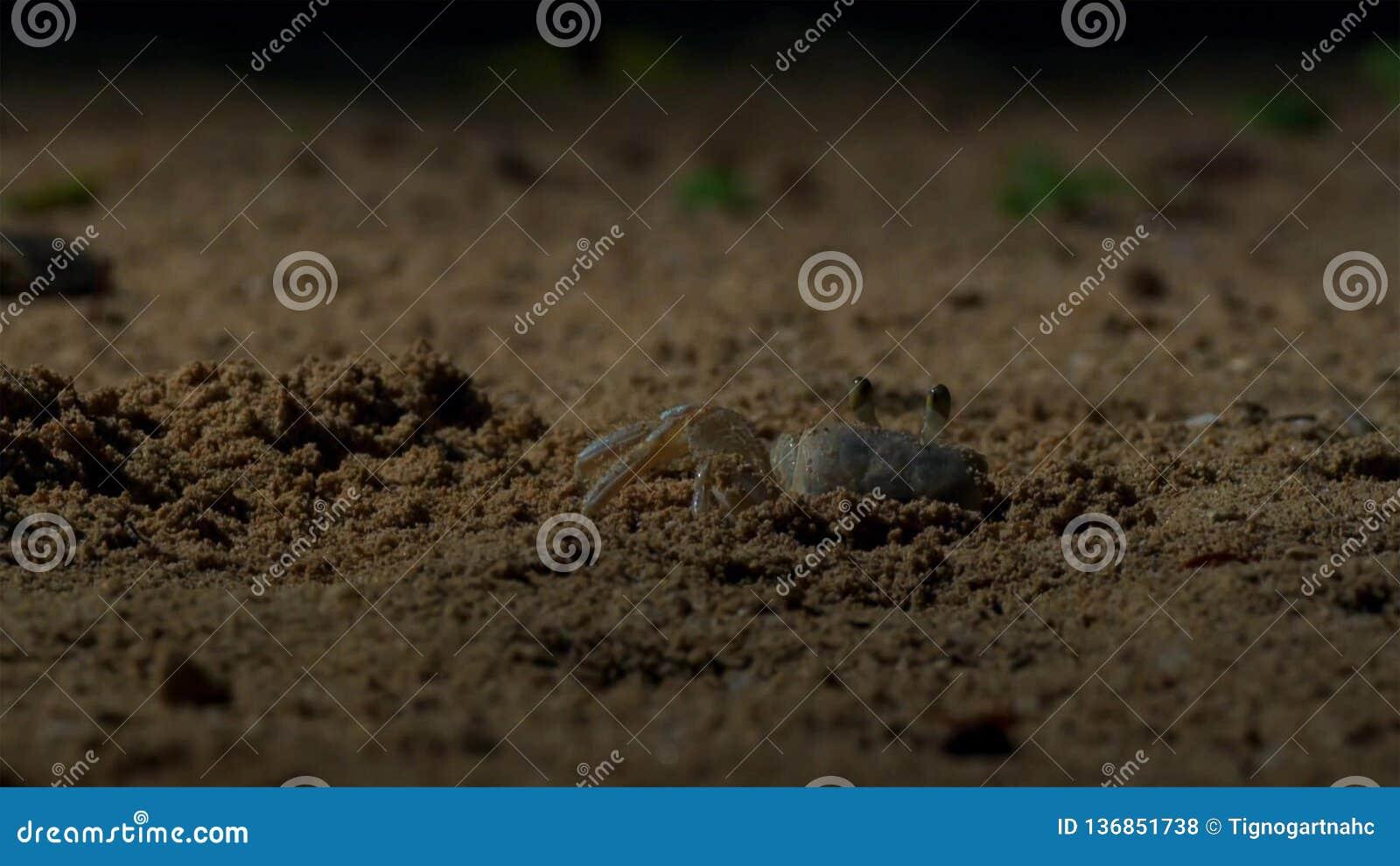 Τα καβούρια περιμένουν τα νέα hatchlings χελωνών hawksbill να έρθουν σε τους Βρετανός