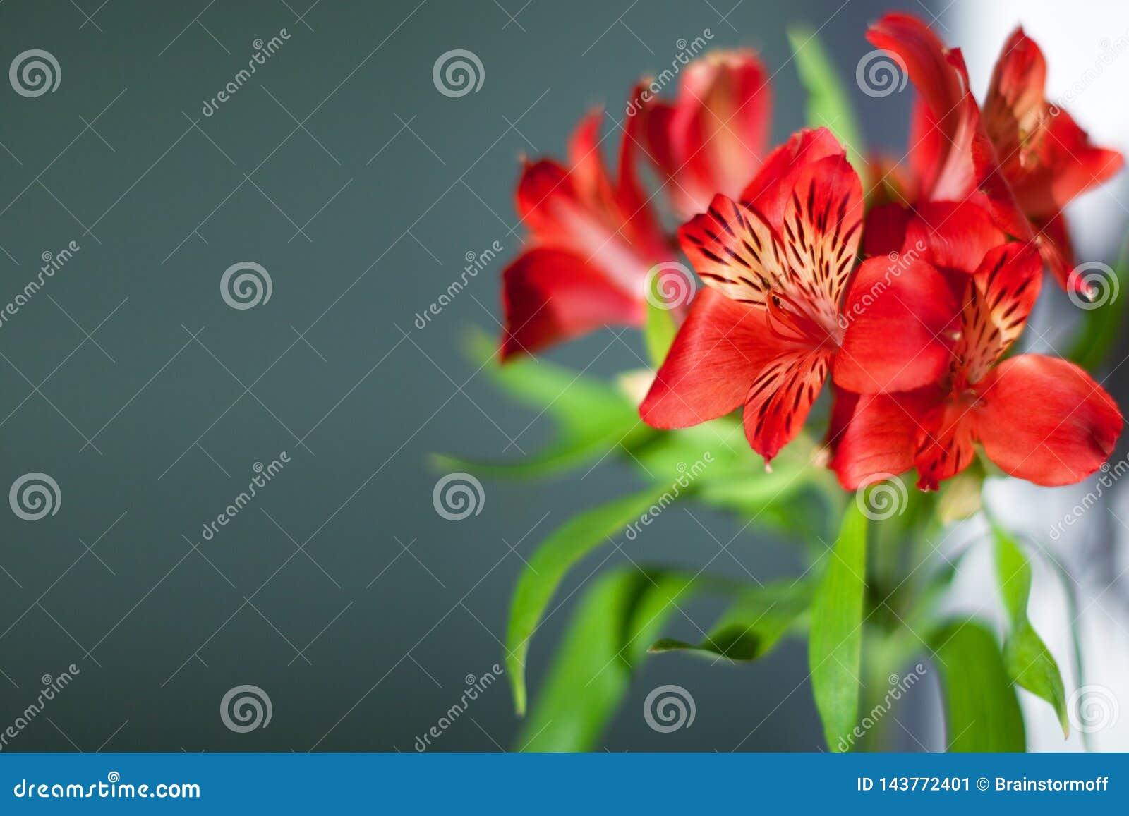 Τα κόκκινα λουλούδια alstroemeria με τα πράσινα φύλλα στο γκρίζο υπόβαθρο κλείνουν επάνω, φωτεινή ρόδινη δέσμη λουλουδιών κρίνων