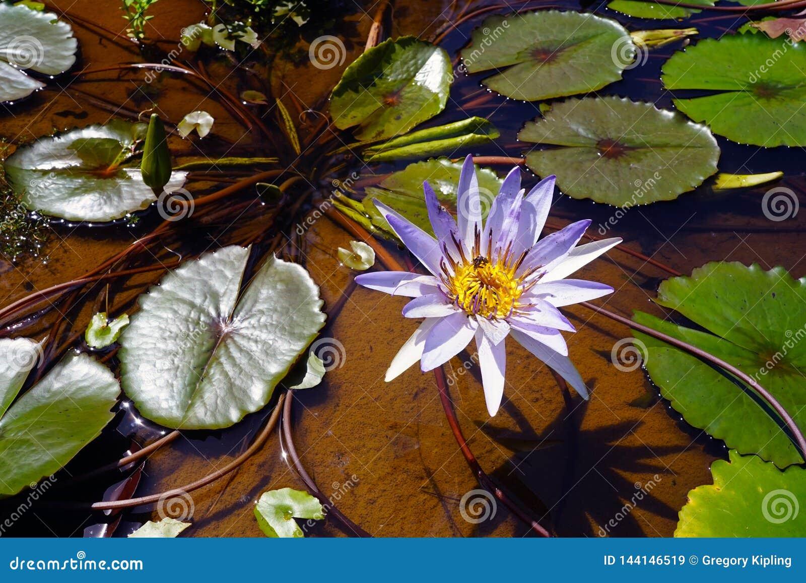 Τα μαξιλάρια λουλουδιών και κρίνων νερού στο ποταμό Μεκόνγκ φορούν πλησίον Det στο Λάος