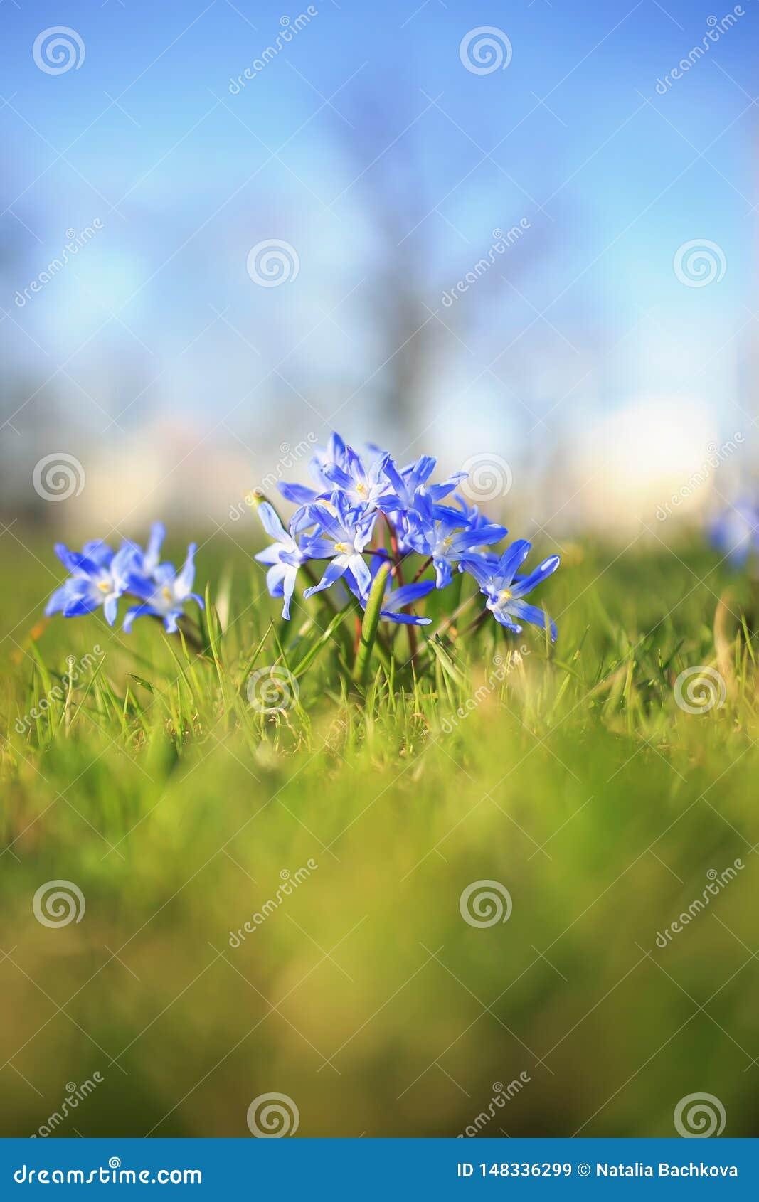 τα μπλε λεπτά λουλούδια άνθισαν κάτω από τις θερμές ακτίνες άνοιξη στο πάρκο