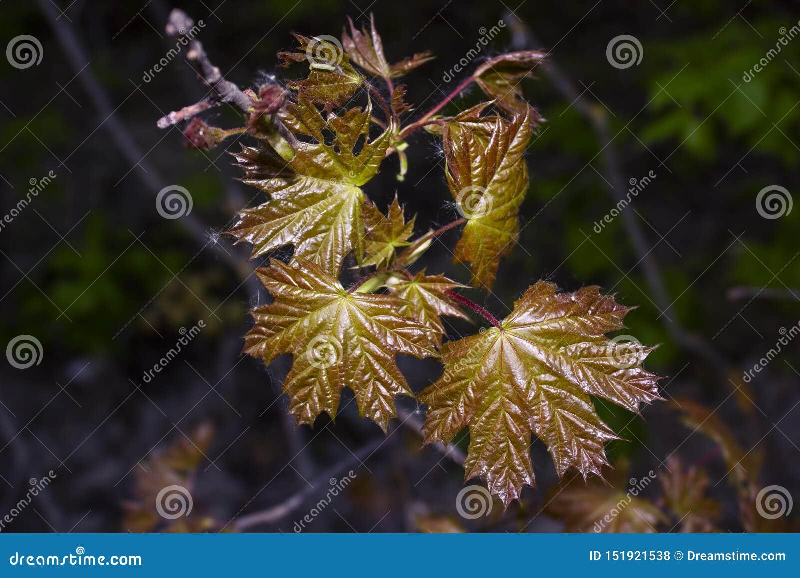 Τα νέα στιλπνά φύλλα του σφενδάμνου που αυξήθηκε την πρώιμη άνοιξη