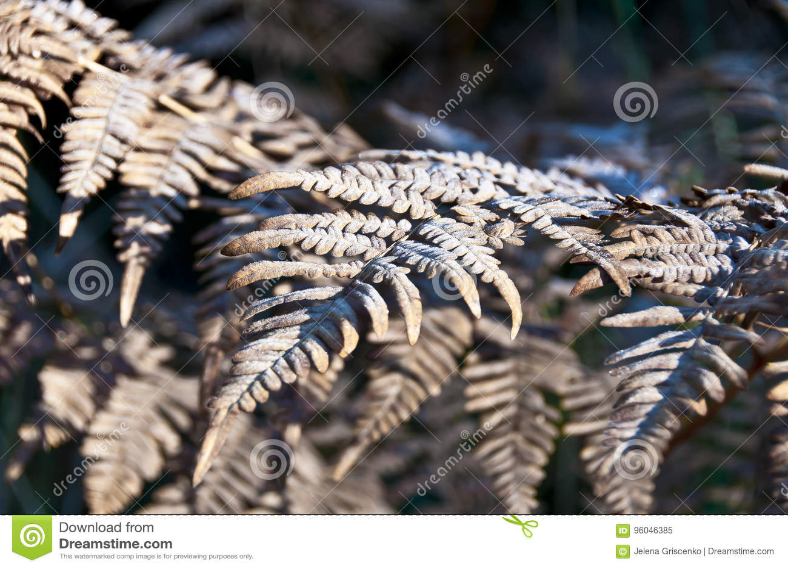 Τα ξηρά φύλλα της φτέρης καλύπτονται με το hoarfrost
