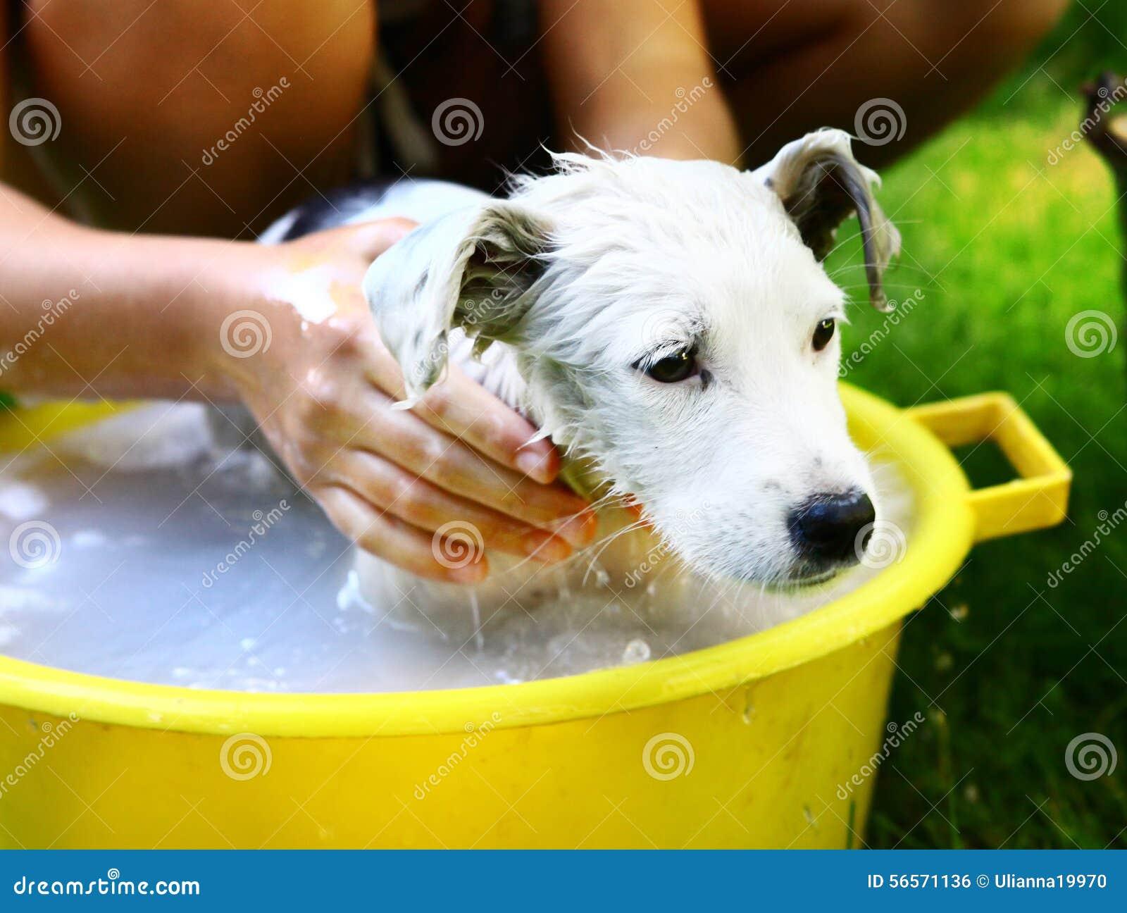 Download τα παιδιά πλένουν το περιπλανώμενο άσπρο κουτάβι στην κίτρινη λεκάνη στο υπόβαθρο θερινών κήπων Στοκ Εικόνες - εικόνα από κήπος, κατσίκι: 56571136