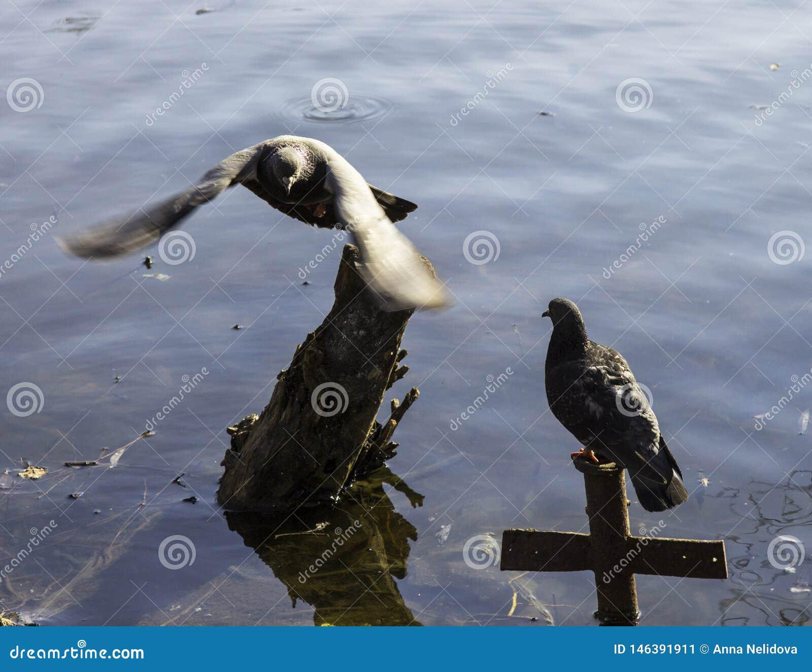 Τα περιστέρια κολυμπούν στη λίμνη στο πάρκο
