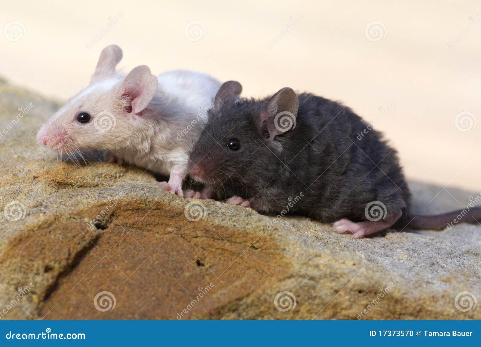 01f0532a2cd7 τα ποντίκια μωρών λικνίζου  Στοκ Εικόνες - εικόνα από babylonia ...