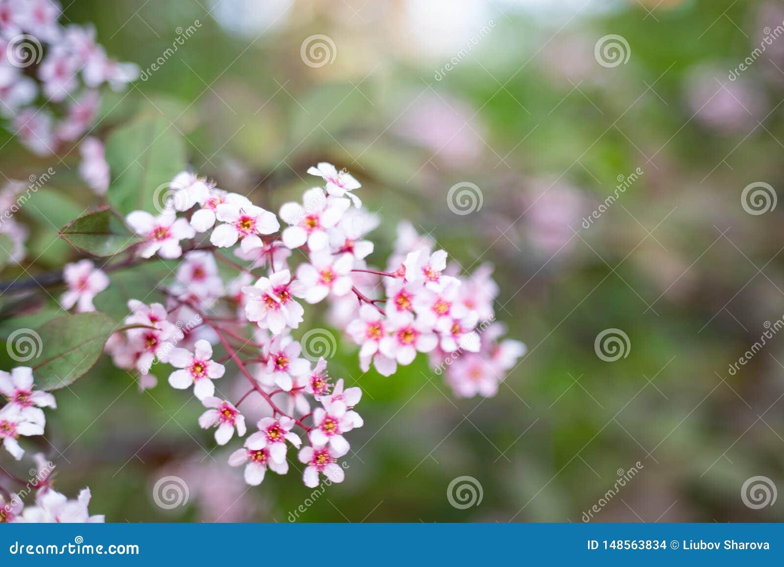 Τα πορφυρά λουλούδια του bergenia αυξάνονται σε έναν κήπο άνοιξη o Purpurea cordifolia Bergenia