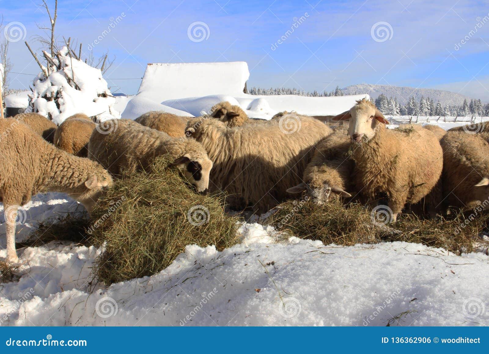 Τα πρόβατα βουνών απολαμβάνουν σε έναν θρεπτικό σανό