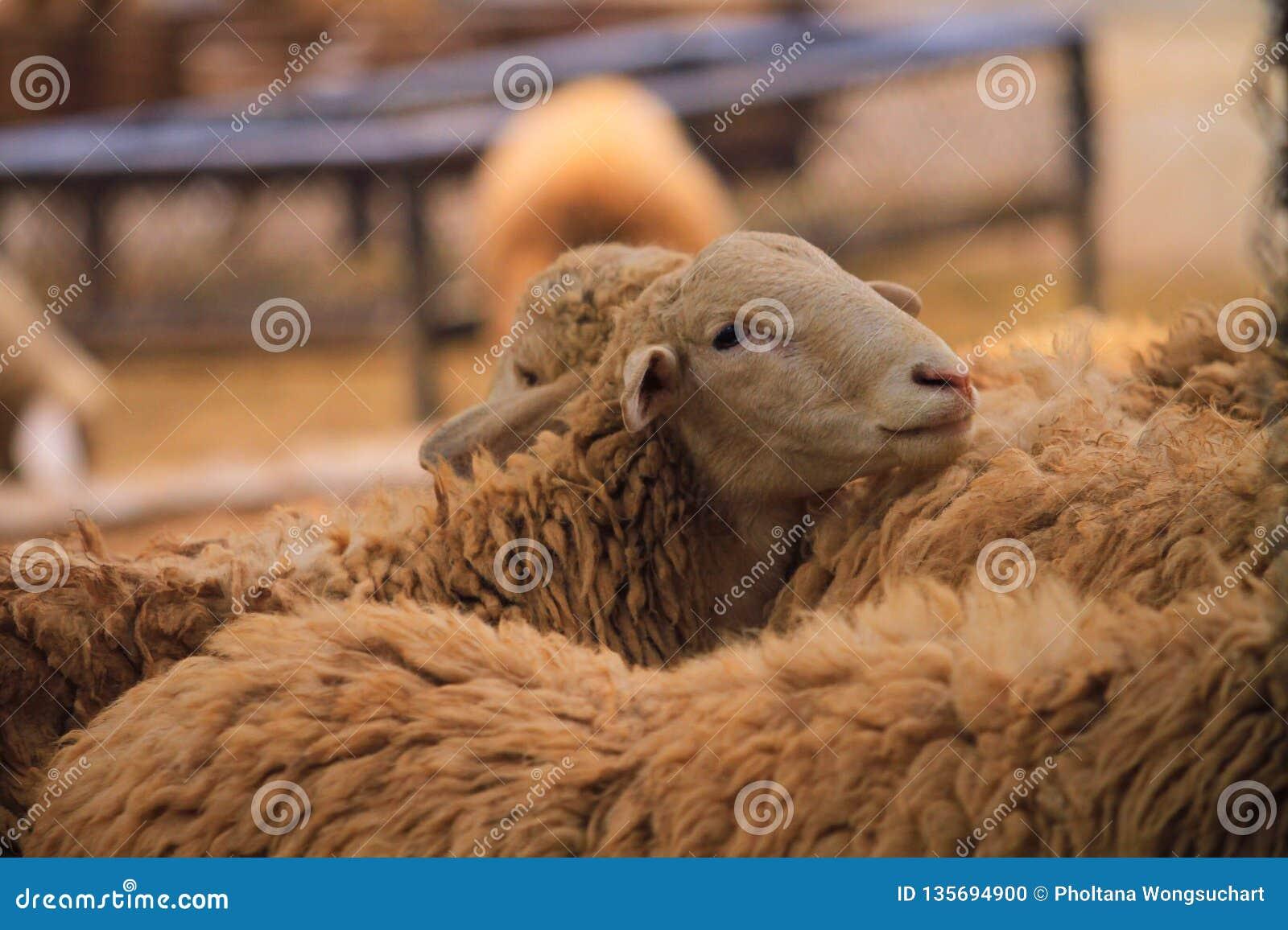 Τα πρόβατα είναι σε ένα αγρόκτημα προβάτων στο δασικό πάρκο