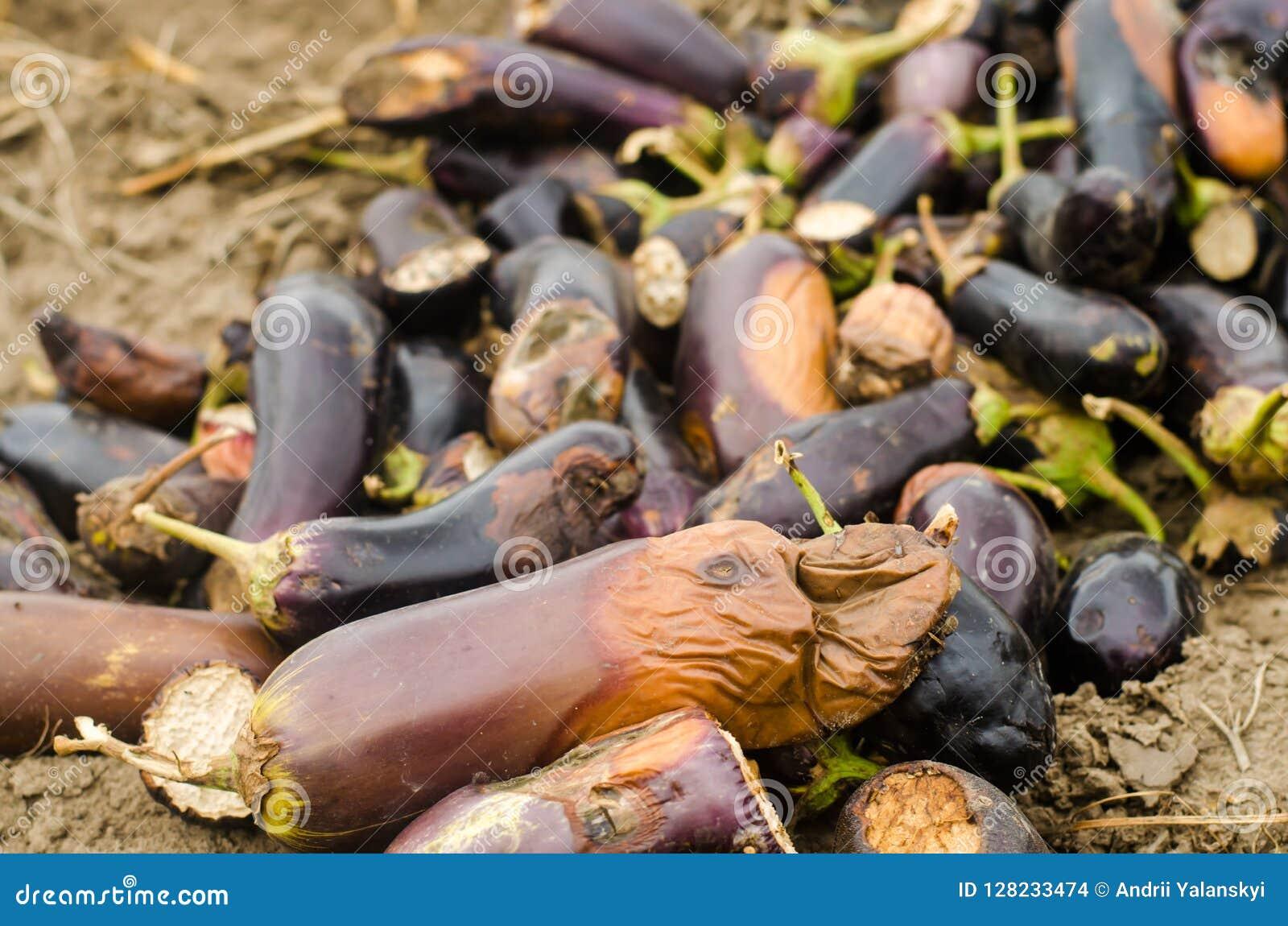 Τα σάπια χαλασμένα λαχανικά μελιτζάνας βρίσκονται στον τομέα φτωχή έννοια συγκομιδών απόβλητα παραγωγής, ασθένεια εγκαταστάσεων Γ