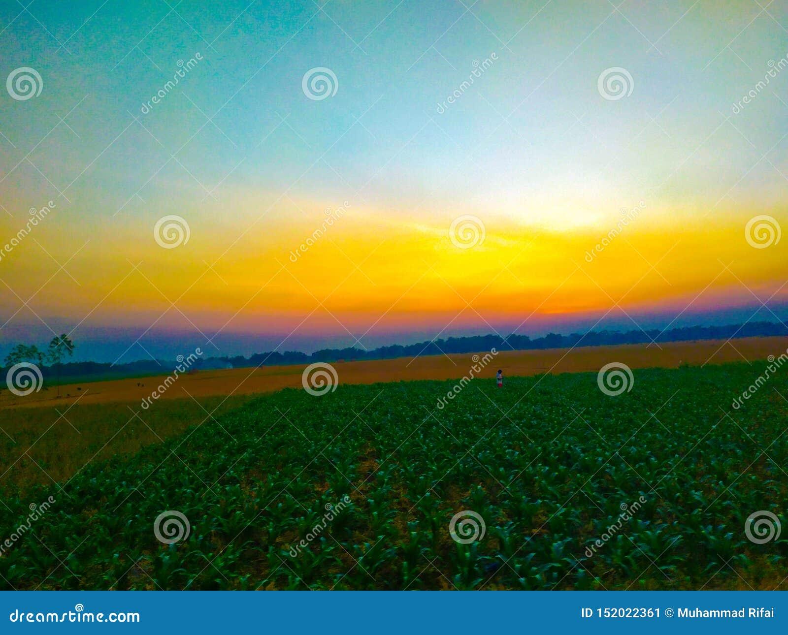 Τα σύνολα ήλιων cornfield