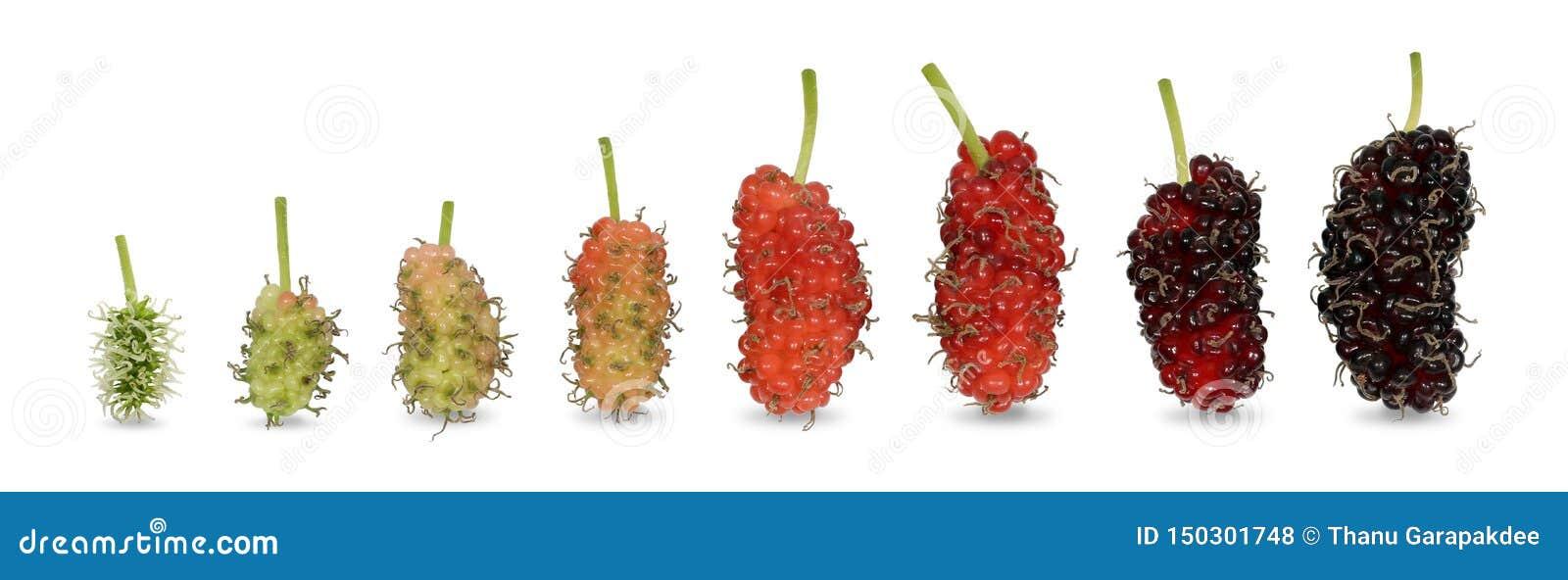 Τα φρούτα μουριών από το ανοικτό πράσινο χρώμα μωρών μέχρι είναι ώριμο σκούρο κόκκινο χρώμα