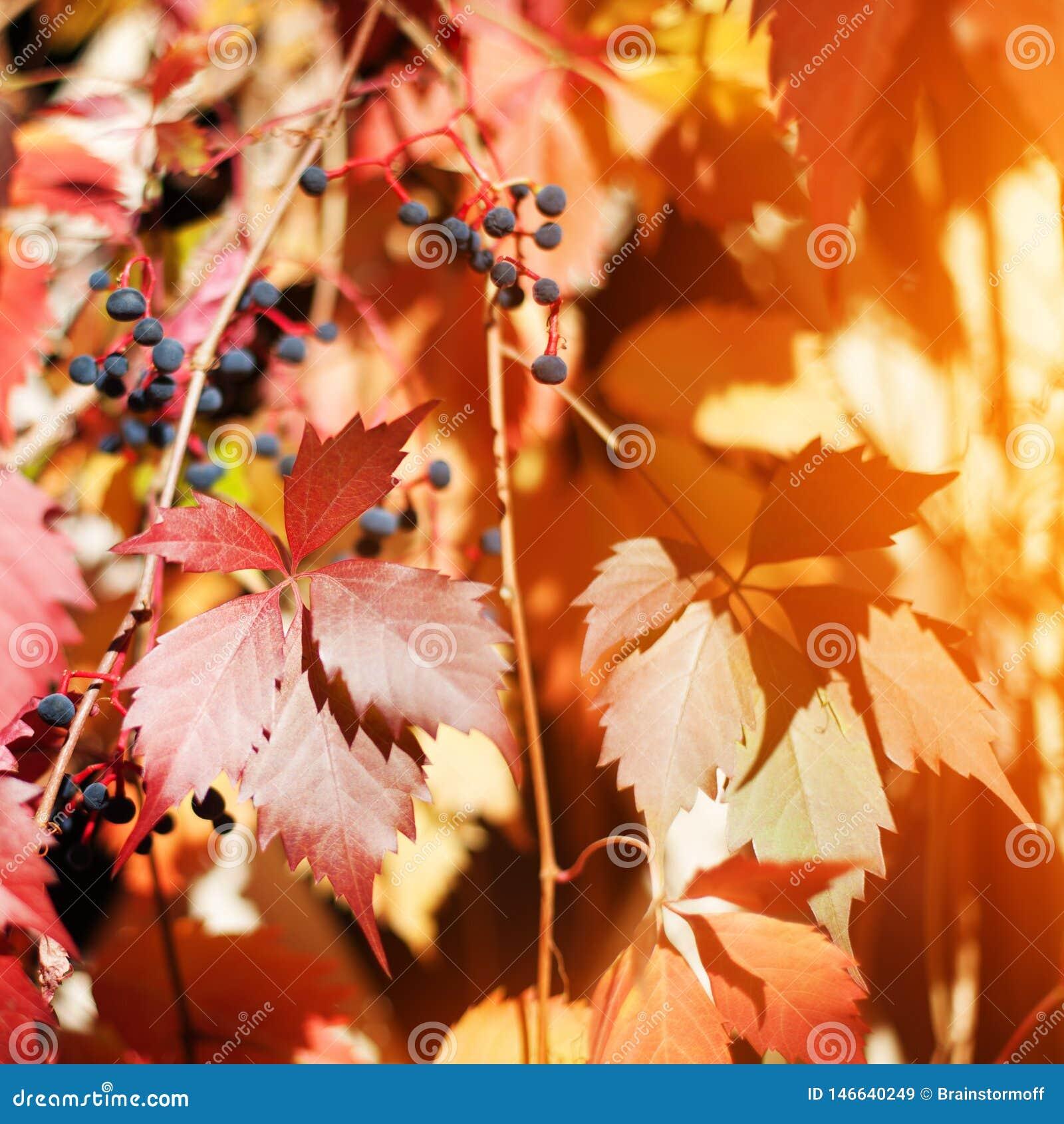 Τα φωτεινά κόκκινα και κίτρινα φύλλα σταφυλιών στον άσπρο ξύλινο φράκτη πλέγματος δικτυωτού πλέγματος, χρυσό φύλλωμα φυτών ορειβα