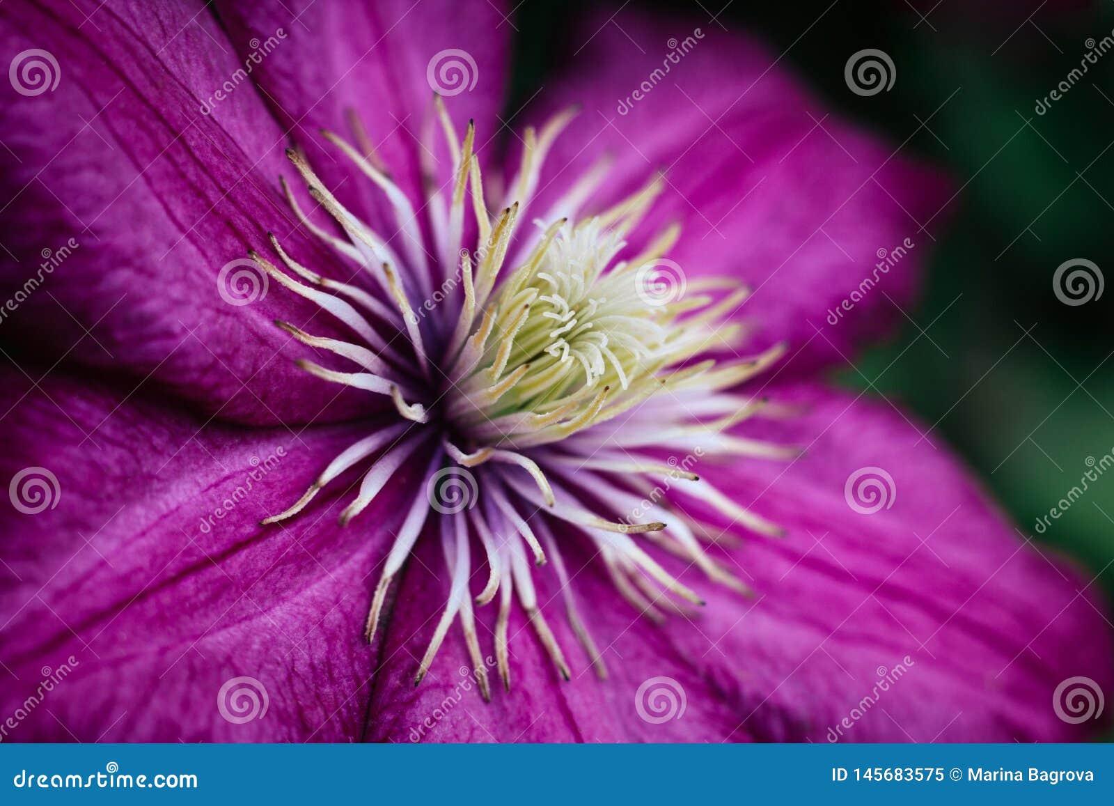 Τα φωτεινά ρόδινα clematis κλείνουν επάνω Κήπος που αναρριχείται στα λουλούδια με τα άσπρα stamens Μεγάλα κατασκευασμένα πέταλα Μ