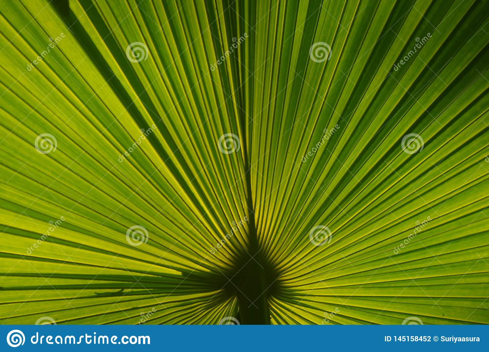 Τα φύλλα φοινικών με το φως από τον ήλιο που λάμπει από την πλάτη κάνου