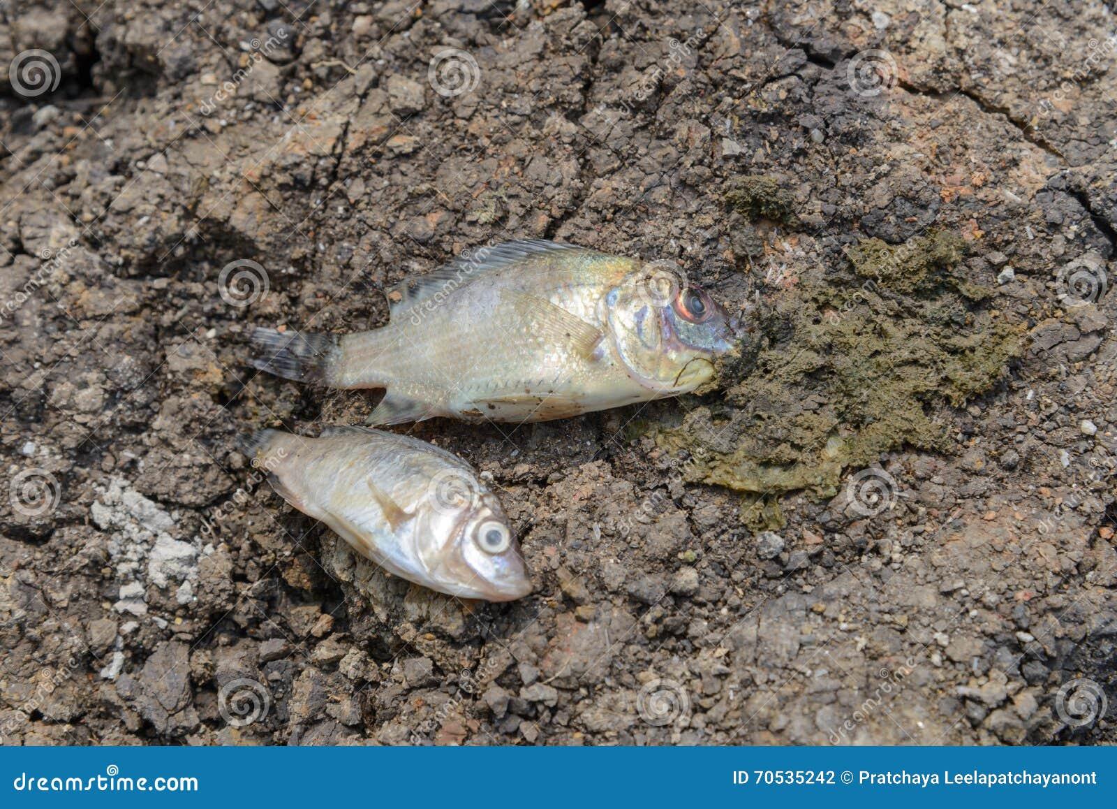 Τα ψάρια πέθαναν στη ραγισμένη γη, έννοια για την ξηρασία