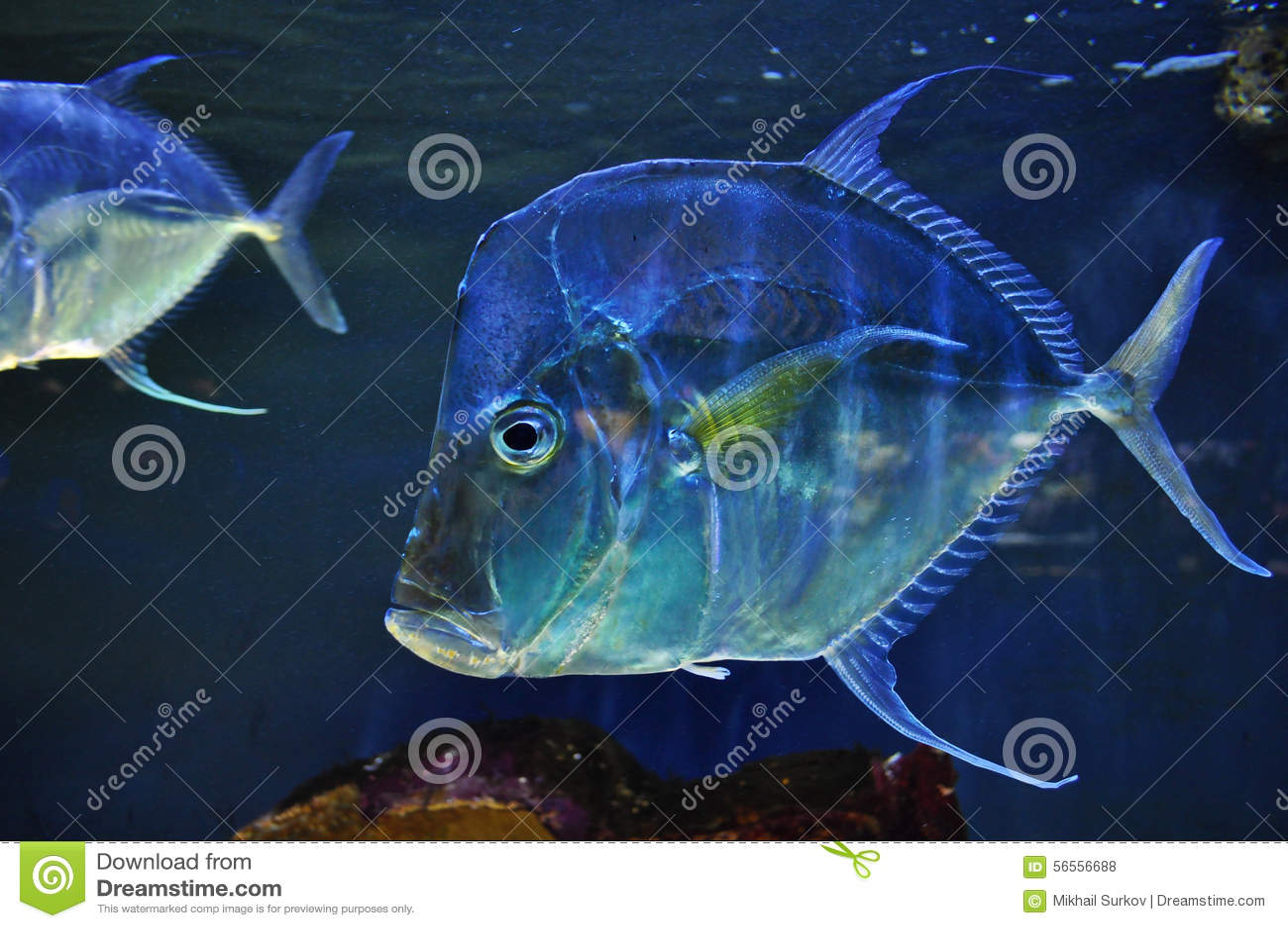 Download Τα ψάρια στοκ εικόνες. εικόνα από θάλασσα, βουτήξτε, σκάφανδρο - 56556688