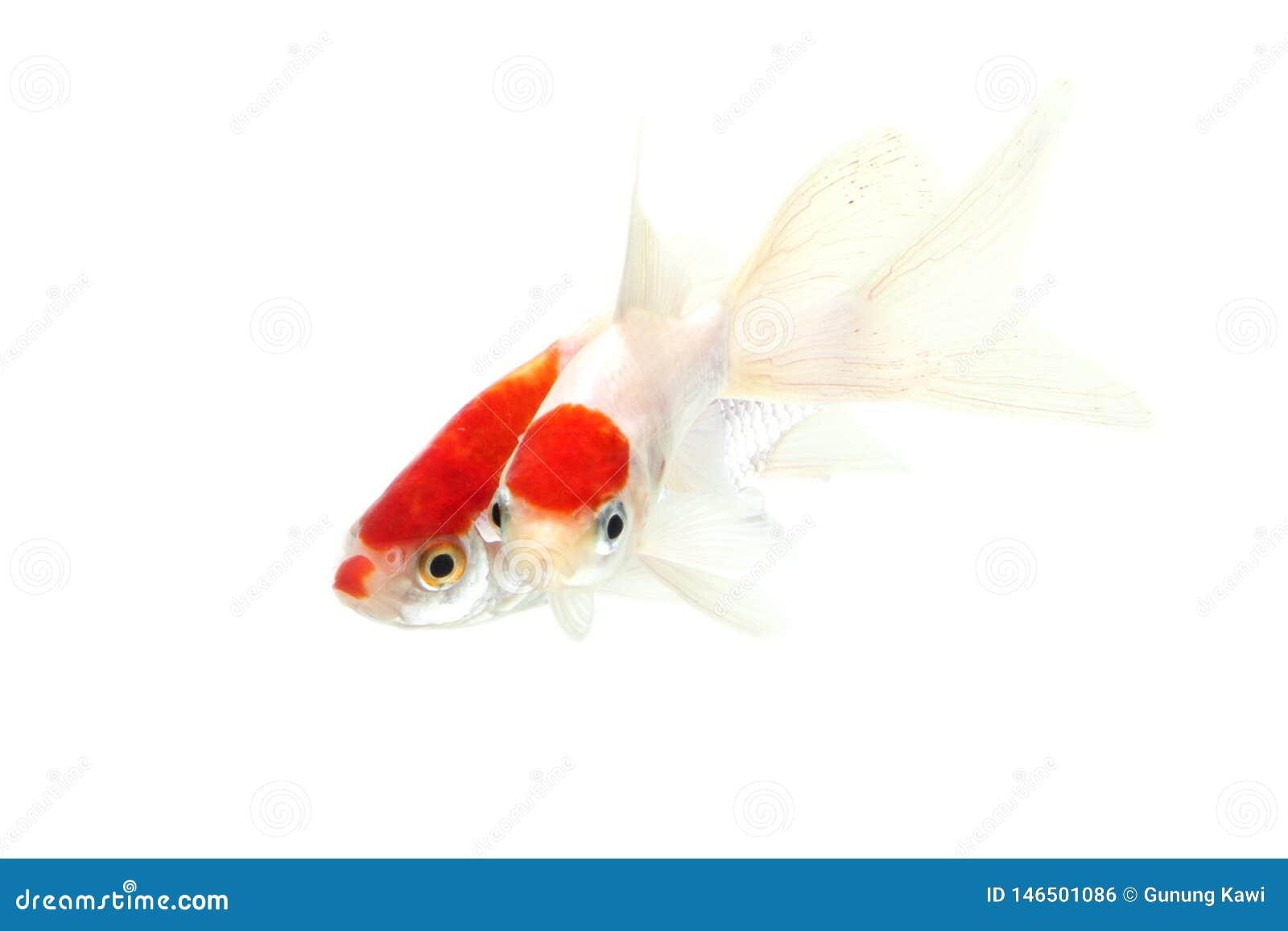 Τα ψάρια Koi απομόνωσαν το άσπρο υπόβαθρο