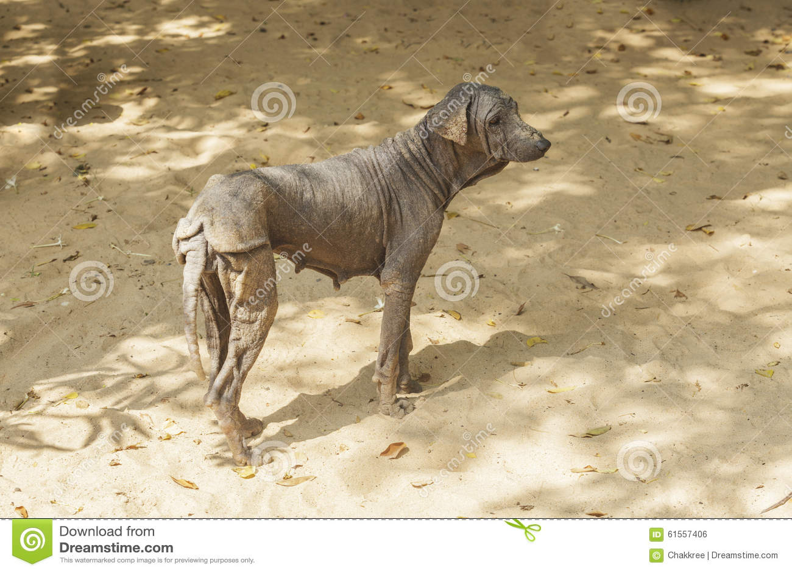 Τα ψωραλαία σκυλιά και άτριχος, Ταϊλάνδη