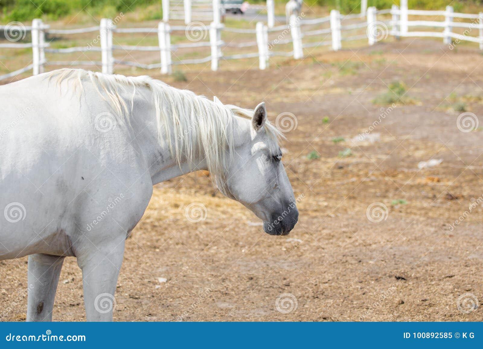 Τα όμορφα thoroughbred άλογα που περπατούν και που βόσκουν στο αγρόκτημα συγκεντρώνουν ειδυλλιακό τοπίο της Βουλγαρίας Ευρώπη boj