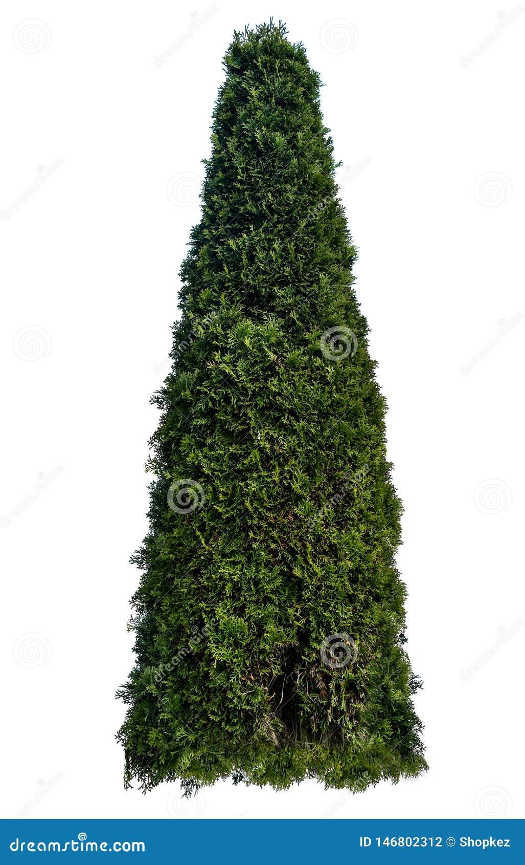 Τα occidentalis Thuja, επίσης γνωστά ως βόρειο άσπρος-κέδρο ή ανατολικά arborvitae, είναι ένα αειθαλές κωνοφόρο δέντρο, στο κυπαρ