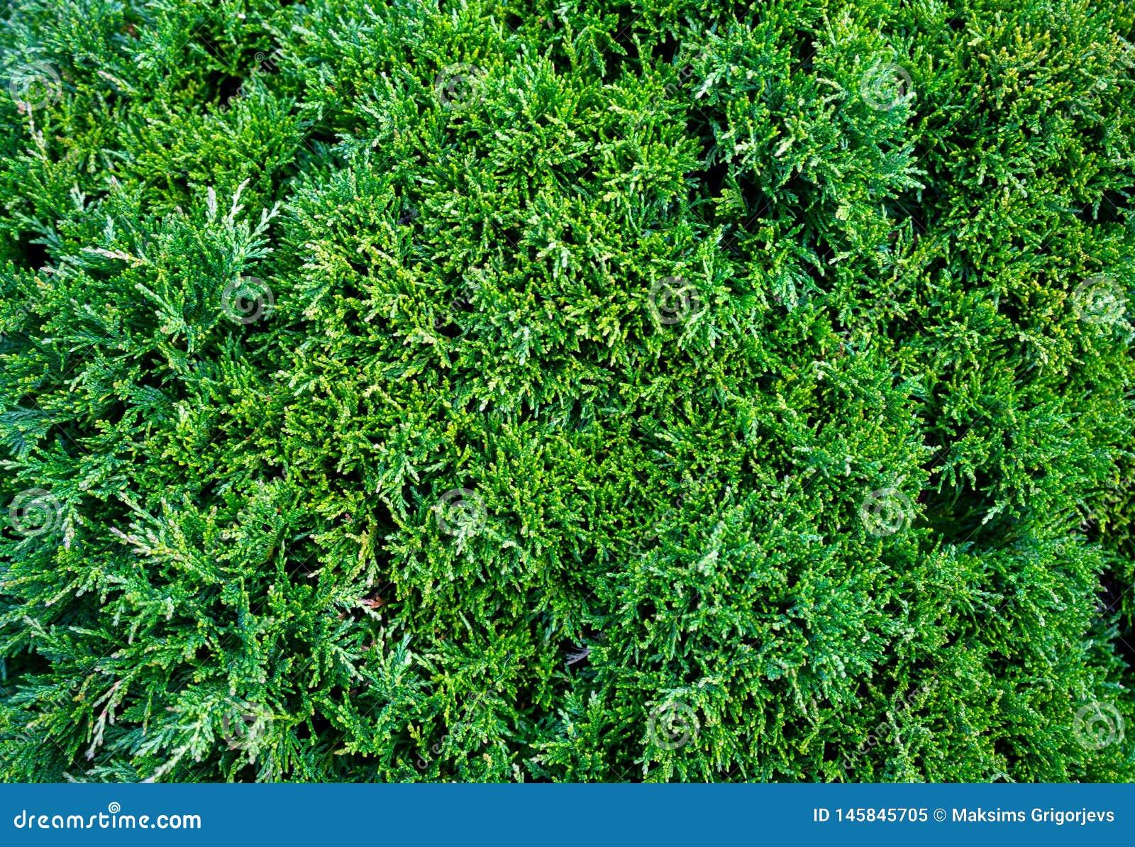 Τα occidentalis Thuja Arborvitae είναι ένα αειθαλές κωνοφόρο δέντρο