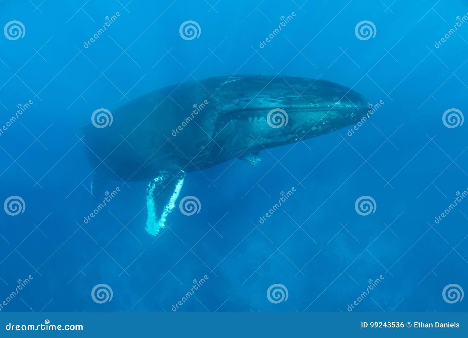 Τεράστιες άνοδοι φαλαινών Humpback στην επιφάνεια