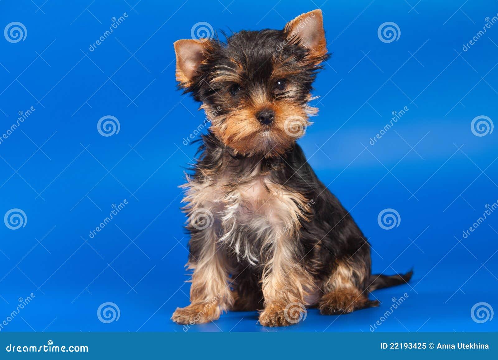 τεριέ Γιορκσάιρ σκυλιών