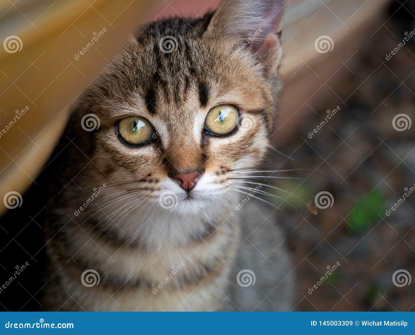 Τιγρέ να κοιτάξει επίμονα γατακιών