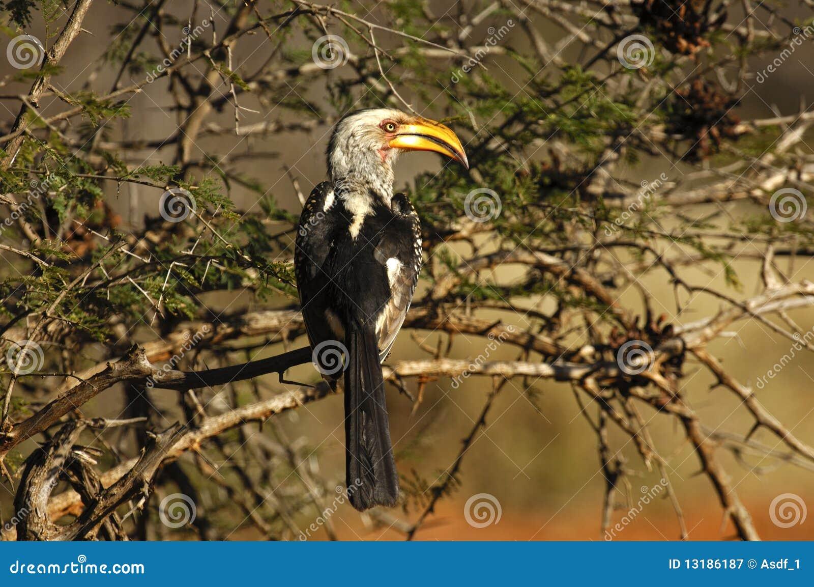 τιμολογημένος hornbill κίτρινο&sig