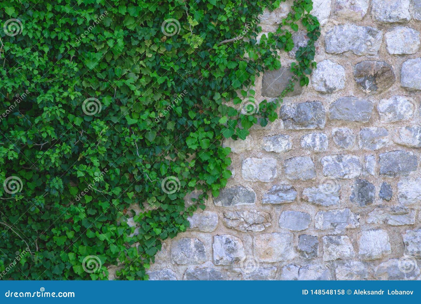 Τοίχος της άσπρης και γκρίζας πέτρας στα πράσινα φύλλα