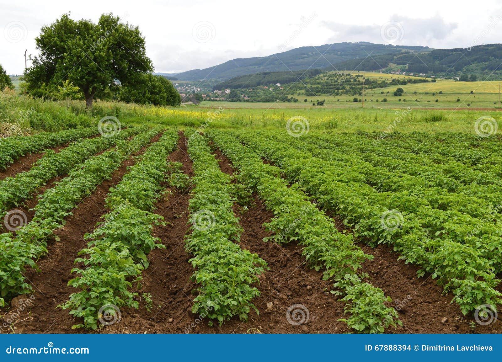Τομέας με τις πράσινες εγκαταστάσεις πατατών
