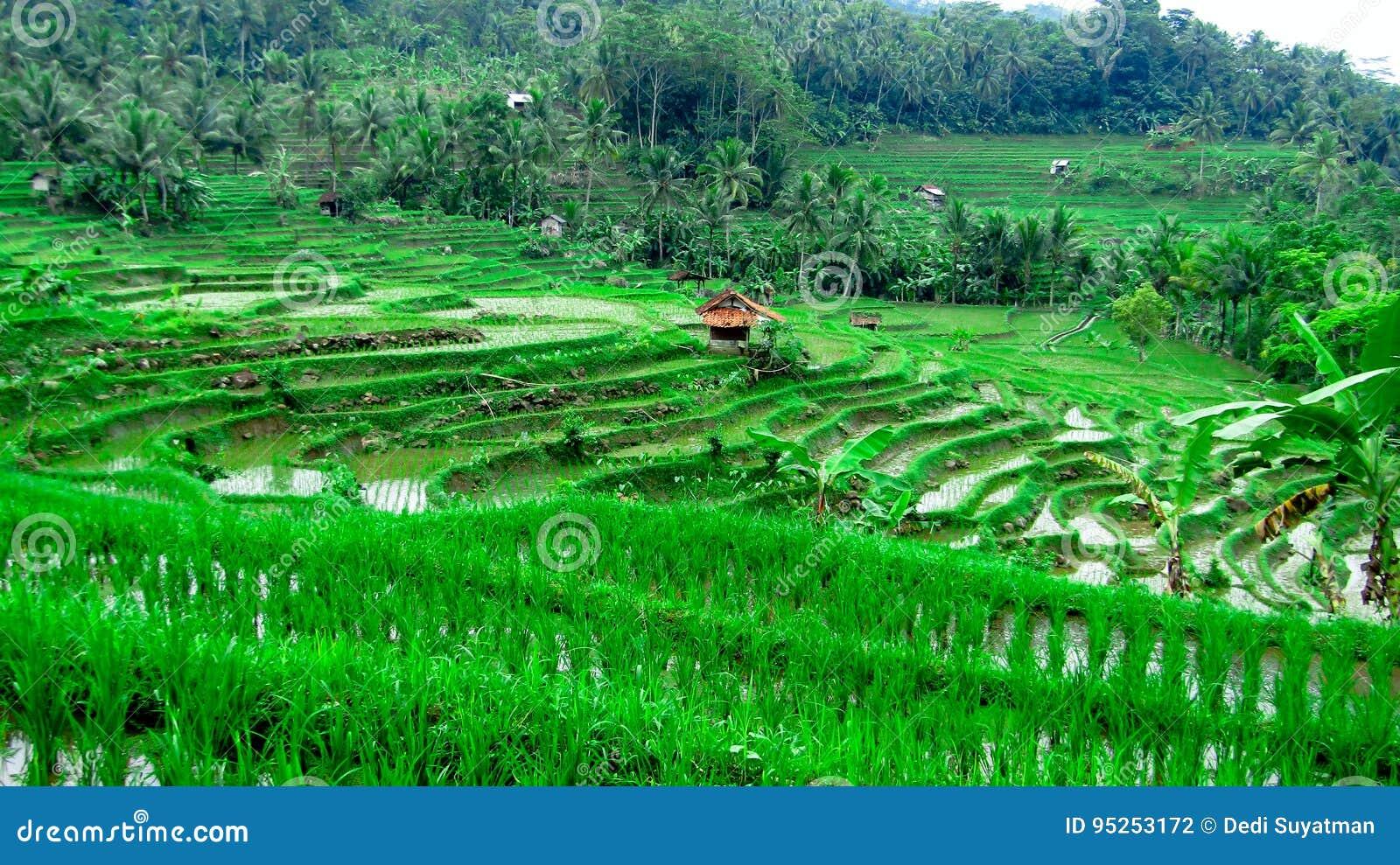 Τομέας πεζουλιών ρυζιού, σε Tasikmalaya, δυτική Ιάβα, Ινδονησία