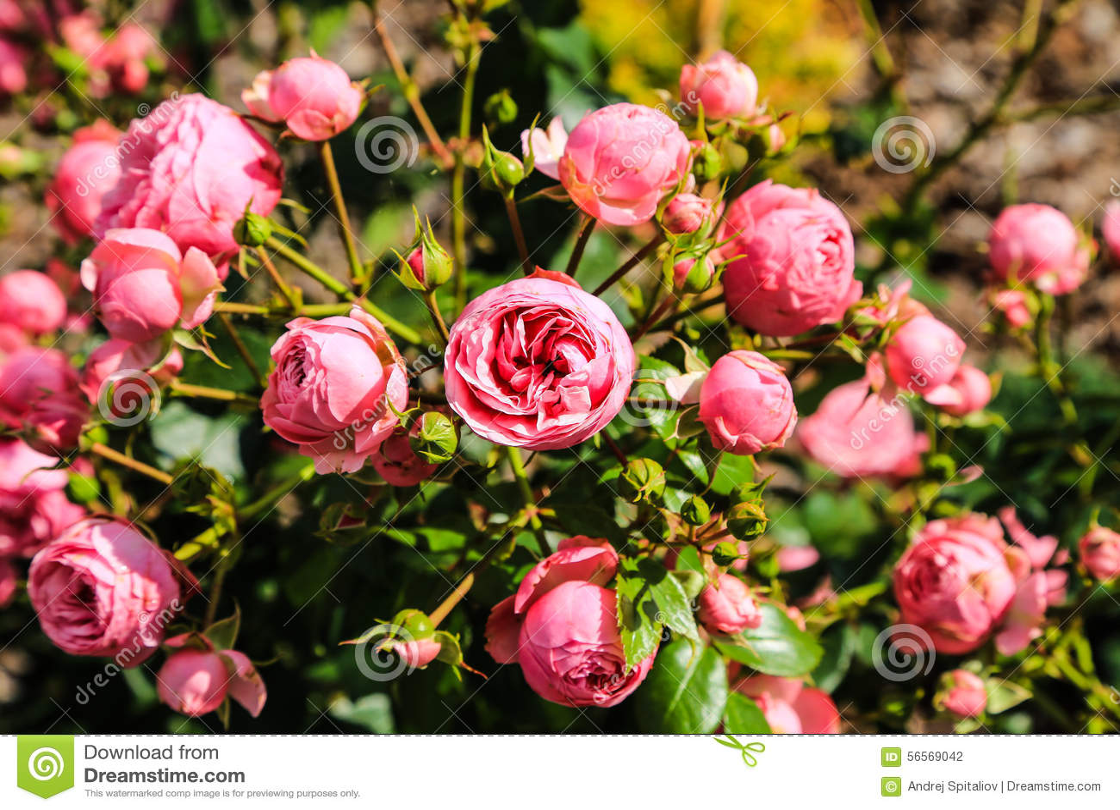 Download Τομέας των ρόδινων τριαντάφυλλων (Rosaceae) Στοκ Εικόνες - εικόνα από ανασκόπησης, κόκκινος: 56569042