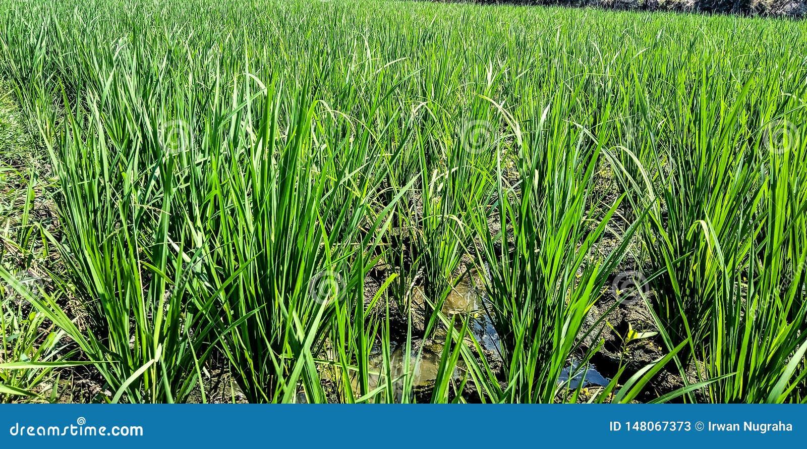 Τομείς ρυζιού με το ξηρό νερό