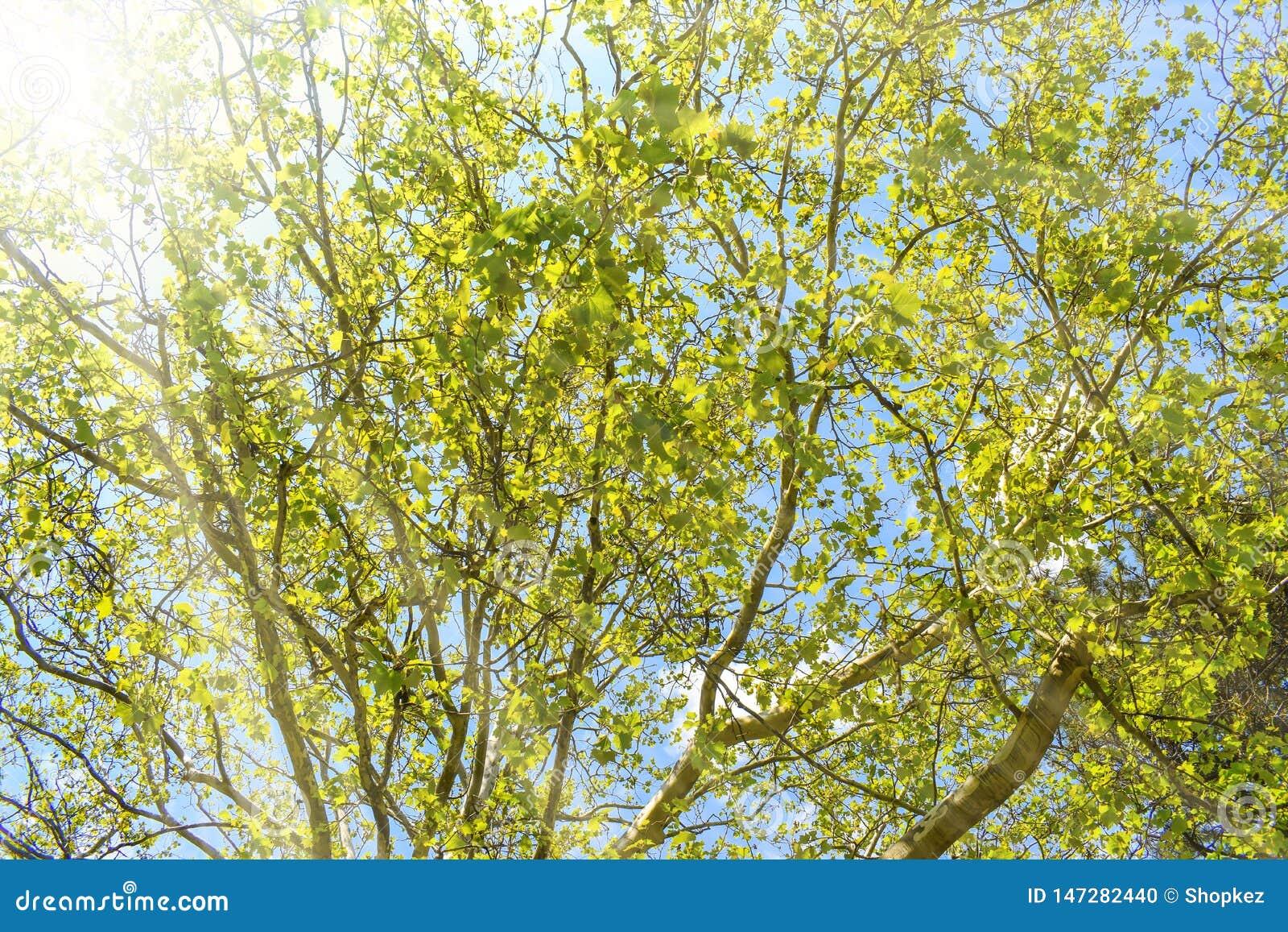 Τοπίο άνοιξη των δέντρων ενάντια στο μπλε ουρανό σε μια ηλιόλουστη όμορφη ημέρα