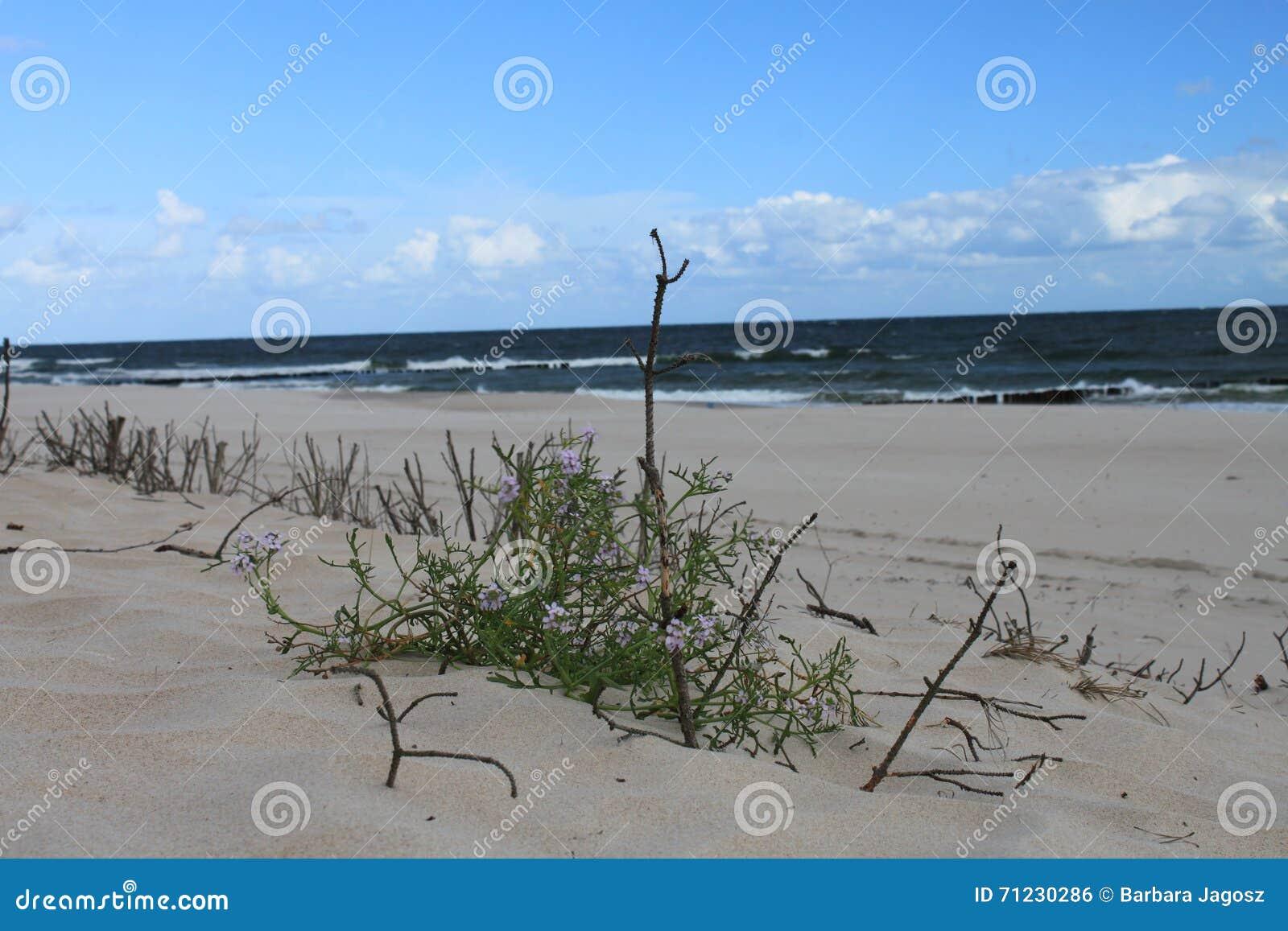 Τοπίο αμμόλοφων της θάλασσας της Βαλτικής, Hel, Πολωνία