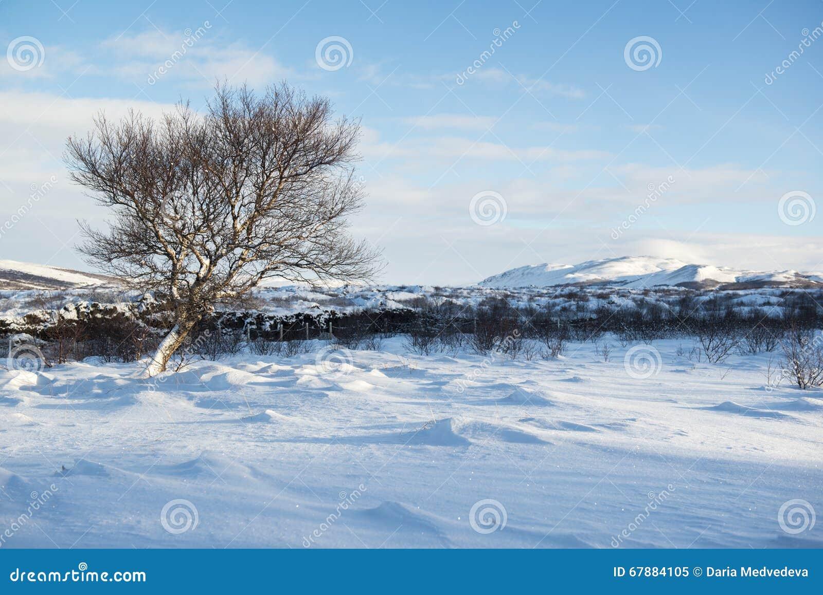 Τοπίο με τους αμμόλοφους χιονιού και ένα μόνο χειμερινό δέντρο, Ισλανδία