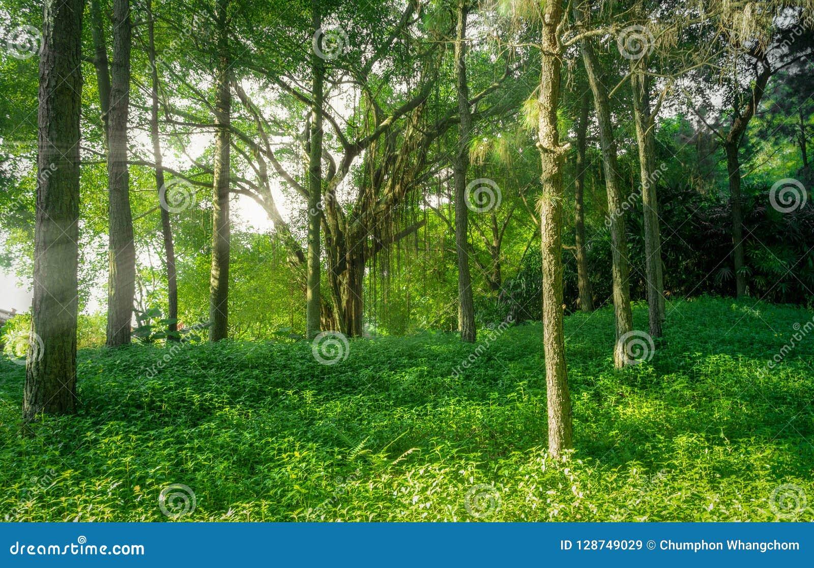 Τοπίο του δάσους με την ομίχλη και των ηλιαχτίδων στο υπόβαθρο φύσης