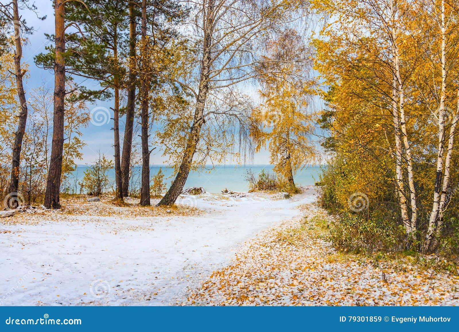 Τοπίο φθινοπώρου με τις κίτρινα σημύδες και το χιόνι Σιβηρία, τα coas