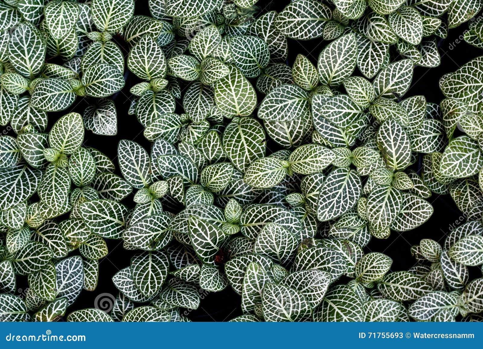 Τοπ άποψη των πράσινων και άσπρων εγκαταστάσεων fittonia