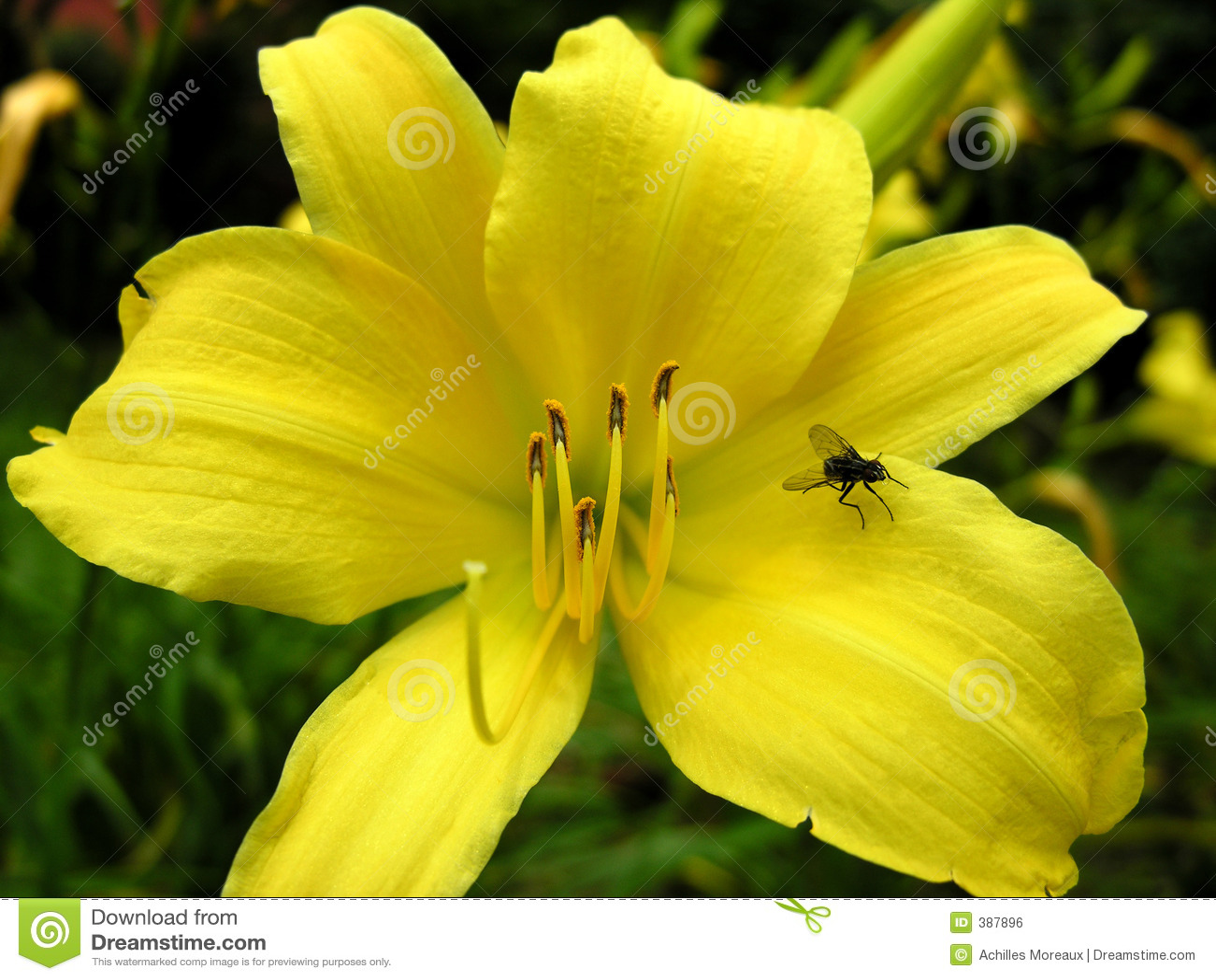 τουλίπα κίτρινη